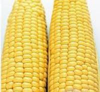 Кукуруза:Кредит (репр.1)