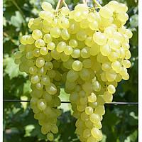 Саженцы винограда СВЕРХ РАННИЙ БЕССЕМЯННЫЙ