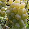 Саженцы винограда кишмиш ЛЮЧИЯ среднего срока созревания
