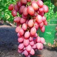 Саженцы винограда кишмиш ПРЕМЬЕР среднего срока созревания