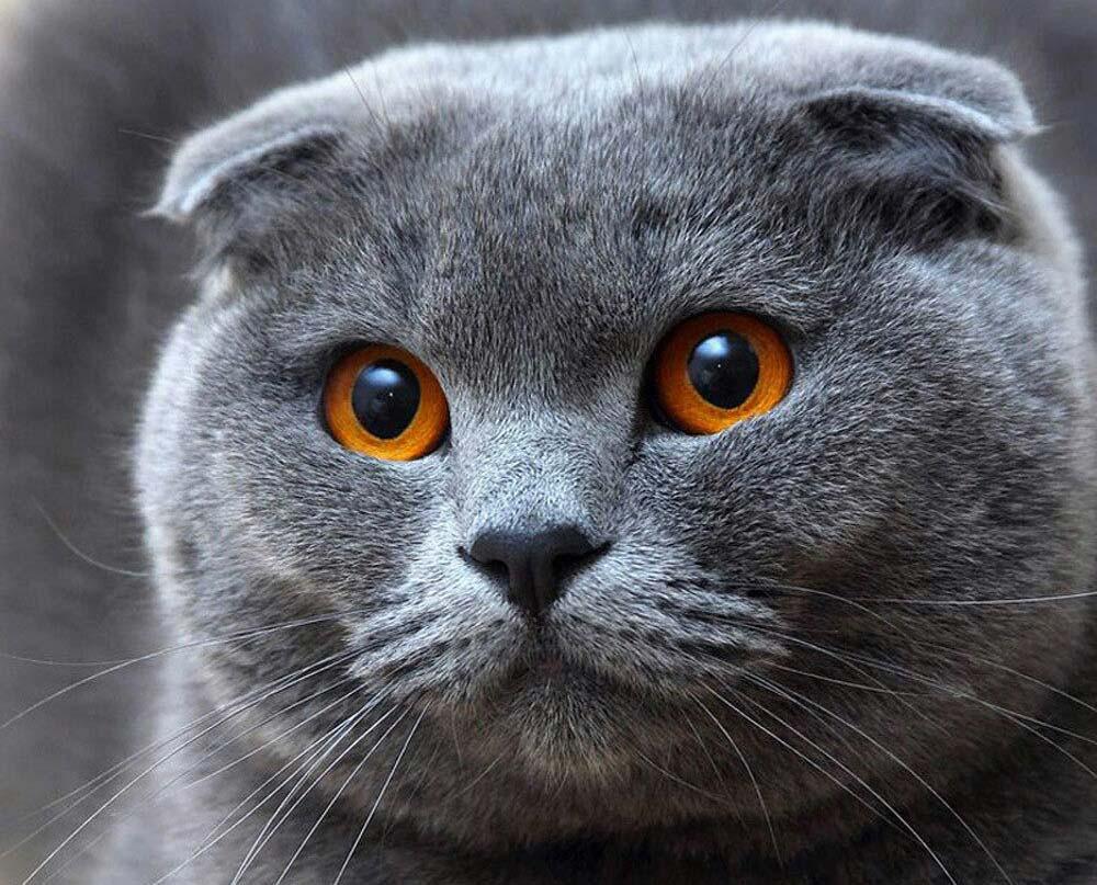 """Алмазна вишивка 40х30 - набір """"Висловухий кіт"""""""
