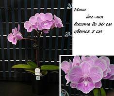Подростки орхидеи. Сорт мини биглип, мультифлора, размер 1.7