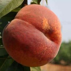 Саженцы персика Коллинз