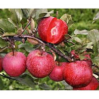 GreenWay Саженцы яблони Эра
