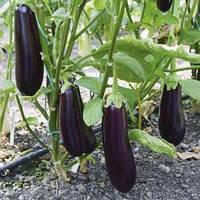 Семена баклажана Честер F1 (Chester F1), 250 сем
