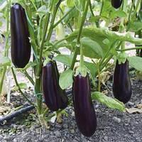 Семена баклажана Честер F1 (Chester F1), 500 сем