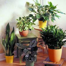 Рослини горшкові