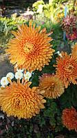 Хризантема низкорослая Пектораль (саженец)