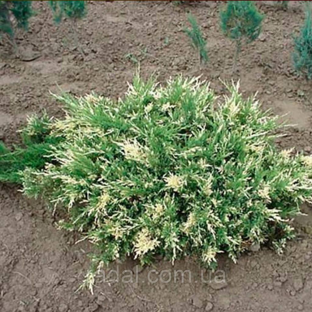 Можжевельник Сабина Варегата P9 (Juniperus sabina Variegata)