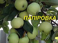 """Саженцы яблони""""Белый налив"""""""