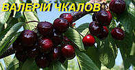"Саженцы черешни ""Валерий Чкалов"""