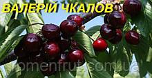 """Саджанці черешні """"Валерій Чкалов"""""""
