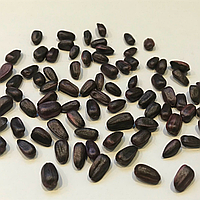 Семена подсолнечника Триполи (Tripoli) Clearfield