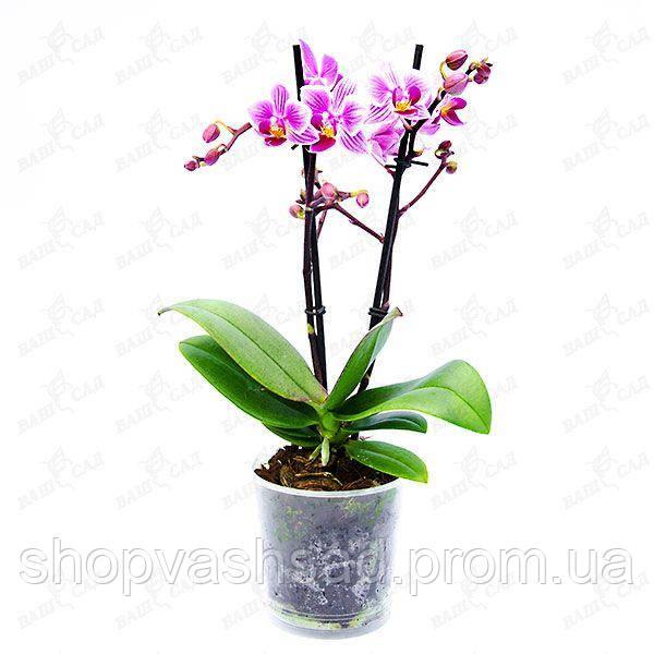 0a1233347 Ваш cад Орхидея фаленопсис миди, цена 191,84 грн., купить в Одессе ...