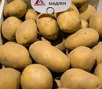 Картофель семенной Мадлен 1 репродукция 10 кг