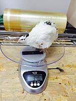 Инкубационное яйцо перепела породы Английский белый (бройлер)