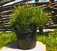 Сосна горная Пумилио (25см)
