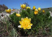 Адонис весенний (горицвет)трава сушеная фасовка 100 грамм