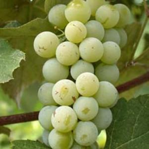 Саженцы винограда сорт Луиза