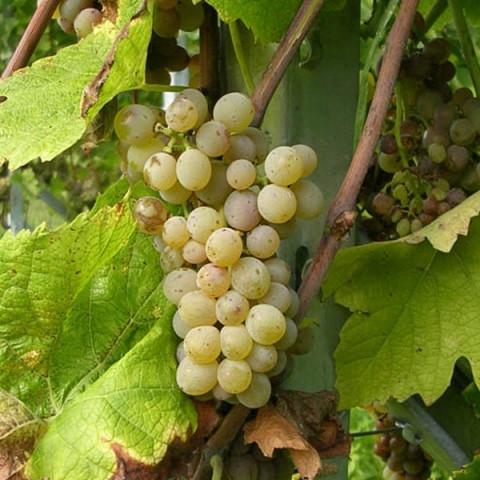 Саженцы винограда сорт Солярис