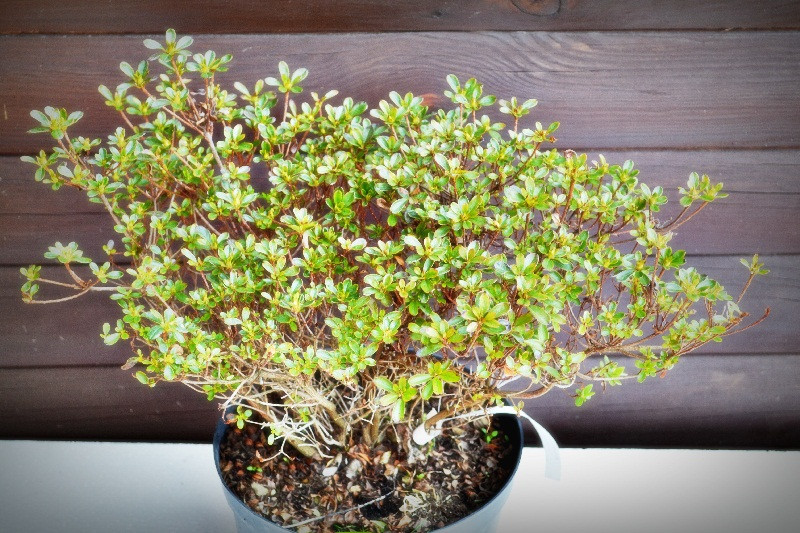 "Азалия японская ""Rhododendron obtusum"" (7,5)"