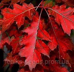 Дуб красный сеянец