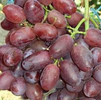 Саженцы винограда сорт Стелла