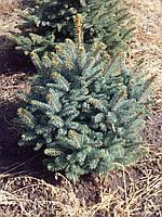 Ель колючая 'Glauca Extra' в контейнере,.Picea pungens 'Glauca Extra'. Высота 1-1,2 м. Контейнер