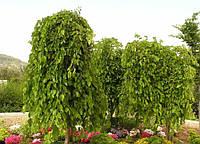 Шелковица плакучая 2.4м.