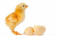 Инкубационное яйцо бройлера Киев
