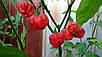 Семена Перец чили Скорпион Тринадада красный, фото 4