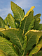 Семена Табак Перик - черное золото индейцев, фото 2