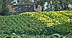 Семена Табак Перик - черное золото индейцев, фото 3
