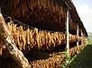 Семена Табак Перик - черное золото индейцев, фото 4