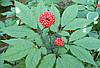 Семена Жень-Шень, фото 5