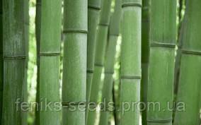 Бамбук Морозостойкий МОСО семена