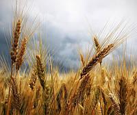 Основні хвороби, які зустрічаються на посівах зернових навесні