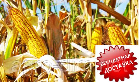 Насіння кукурудзи ДБ Хотин (ФАО 250), фото 2