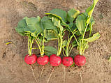 Семена редиса Стеллар F1 (10 000 сем.) Syngenta, фото 2