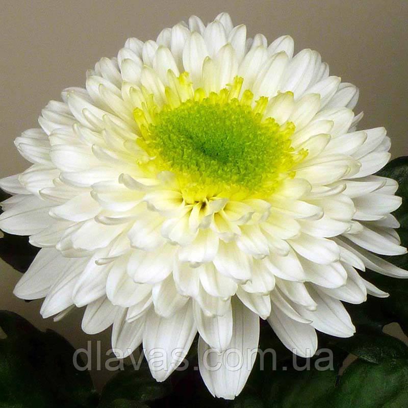 Хризантема крупноцветковая срезочная  Инга (Inga)