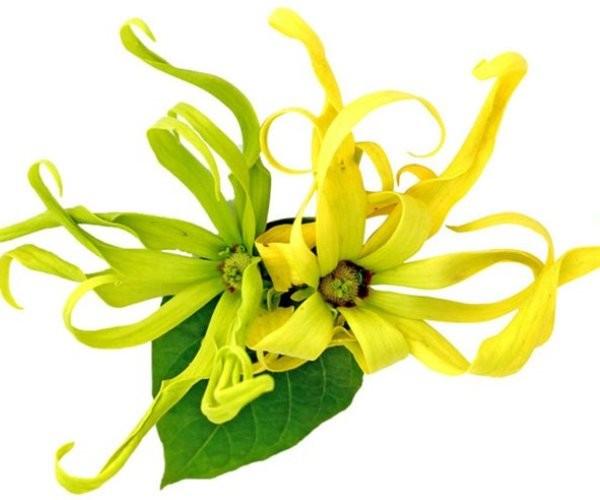 1. Натуральное эфирное масло иланг-иланг 15мл. Читать подробно
