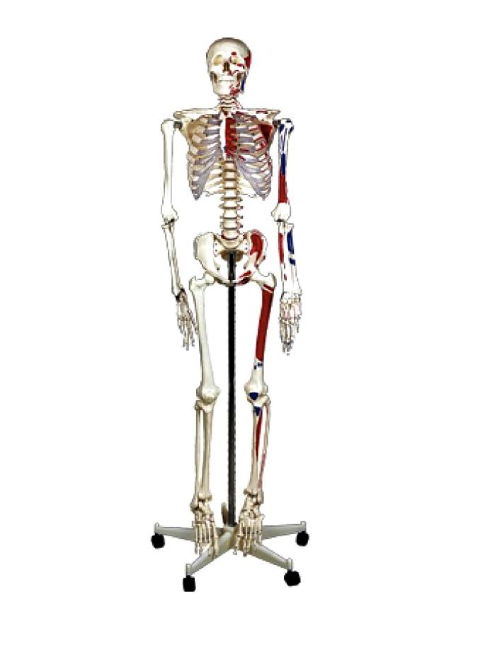 """Модель """" Скелет людини 170 см """", на мобільній, роликовій підставці"""