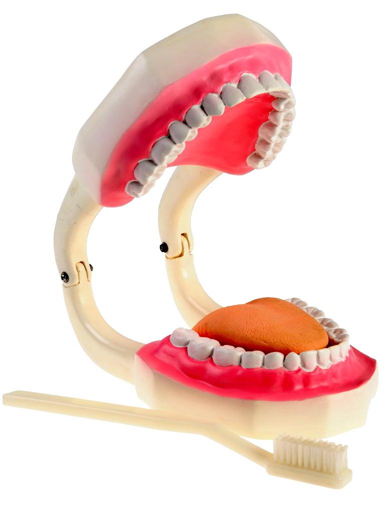 """Модель """"Верхня та нижня щелепи людини"""" (гігієна зубів)"""