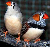 Зебровые Амадины- умные, маленькие, красивые, весёлые, активные, дружелюбные птички