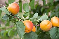 Абрикос ОТОМ СПРАЙТ АПРИУМ (Autumn Sprite Aprium), фото 1