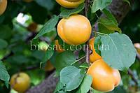 Абрикос Хані Річ Апріум (Honey Rich Aprium), фото 1