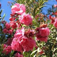 Эфирное масло Розового дерева 5 мл/ 500 мл