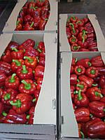 Перец сладкий - зеленый! тепличный разноцветный из Украины