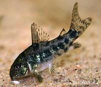 Аквариумная рыбка Крапчатый сом