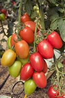 Семена томата Гранадеро F1 (cливка) 500 семян Enza Zaden